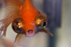 Angry-Goldfish-Cheap-Pet-300x199