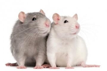 Pet_Rats1