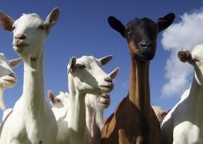 goats-med-18-reasons