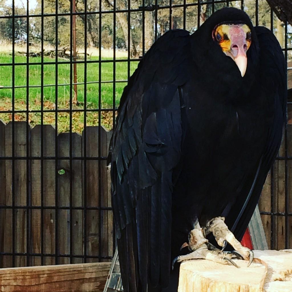 West-Coast-Falconry-Center-vulture