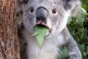 surprised-animals-Koala
