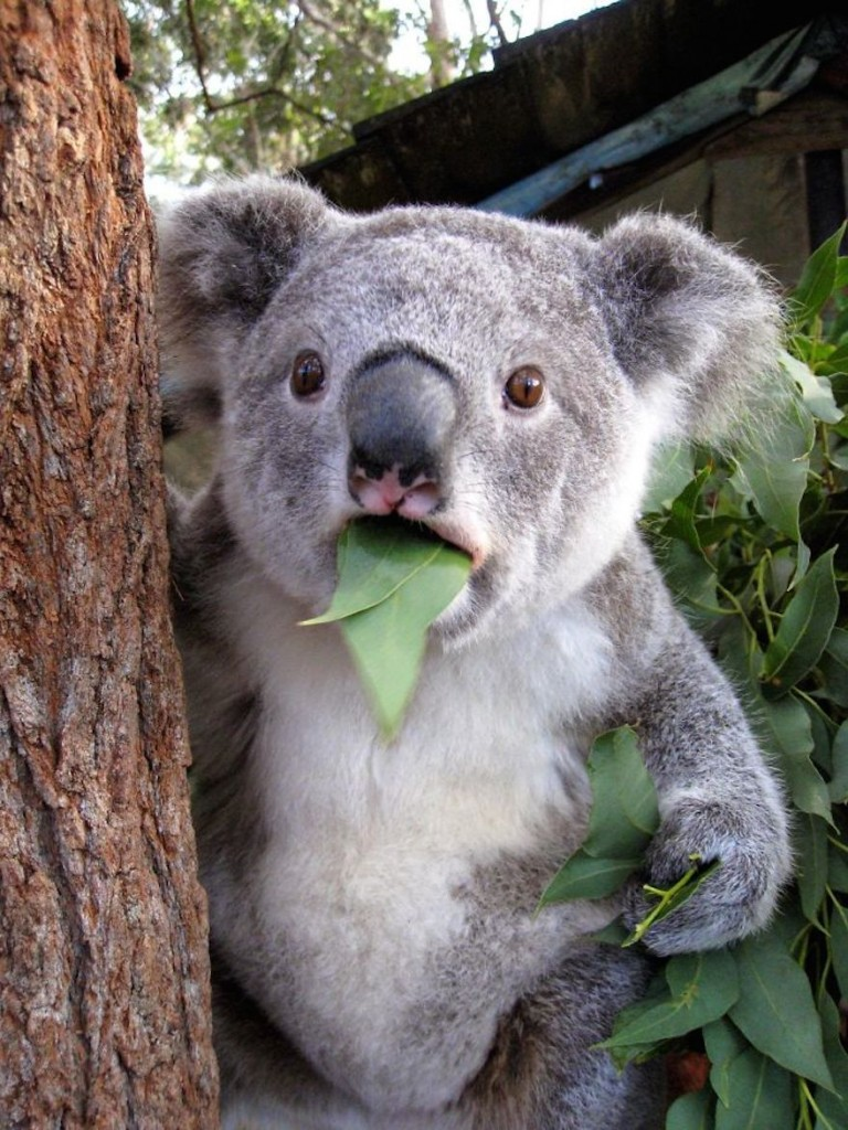 surprised-animals-Koala