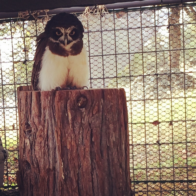 West-Coast-Falconry-Center-Grouchy-owl-with-death-metal-make-up