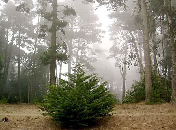 san-francisco-presidio-trees