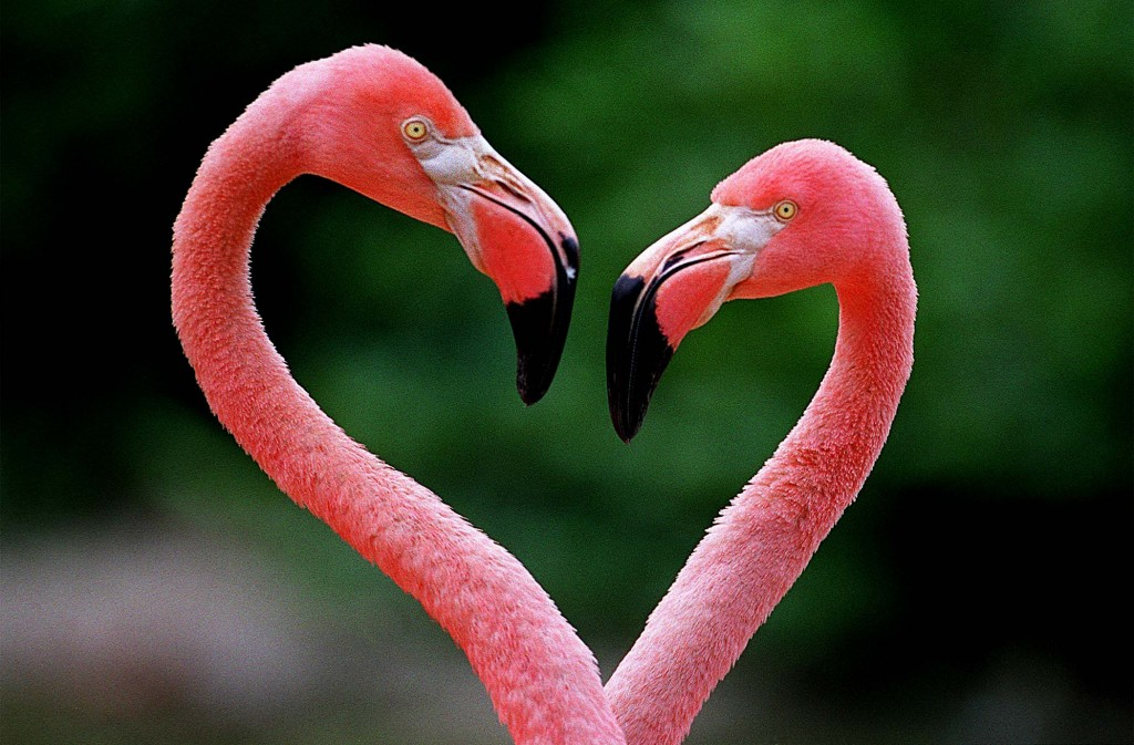 Two flamingos perform a courtship dance at Palm Beach Zoo in West Palm Beach. (Taylor Jones/ The Palm Beach Post)