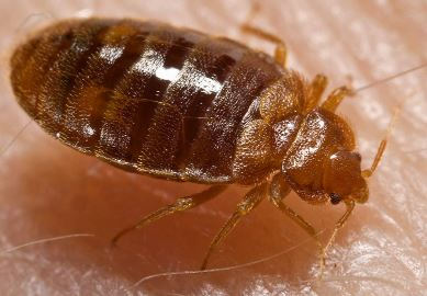 this is what a bed bug looks like