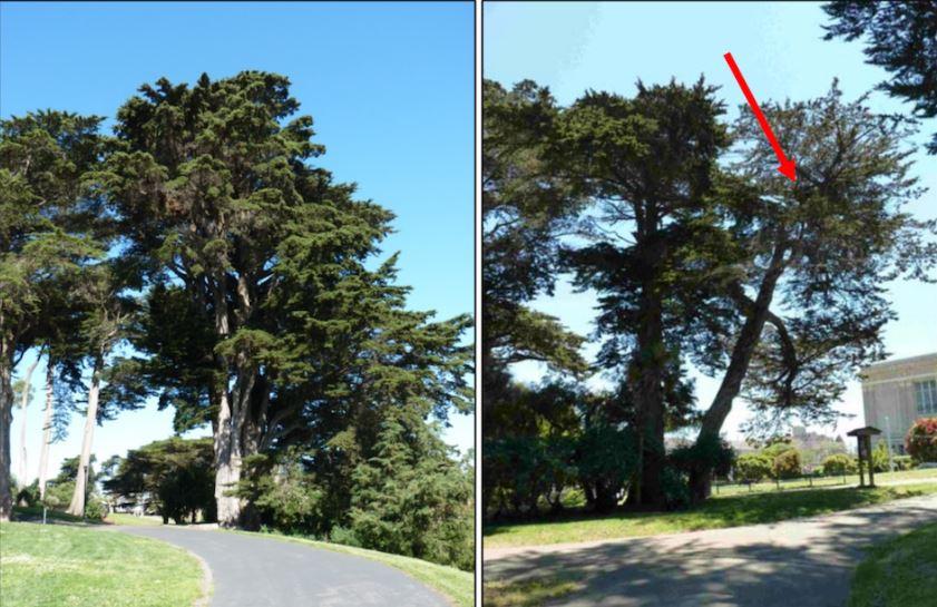 tree alamo
