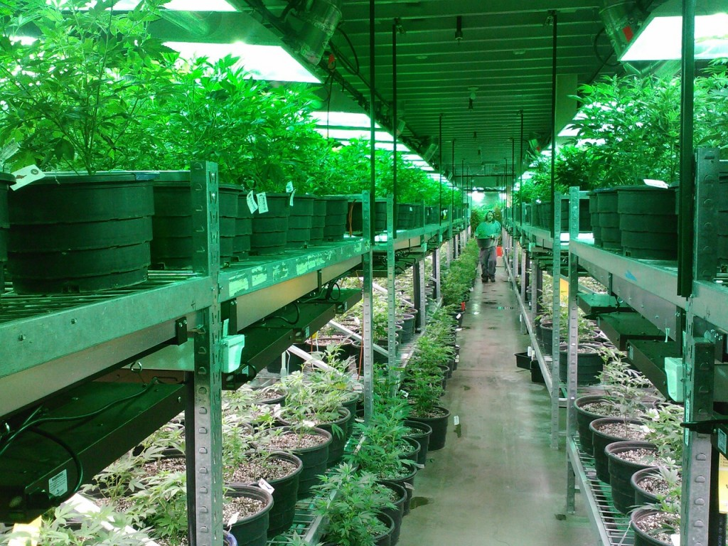 marijuana grow colorado