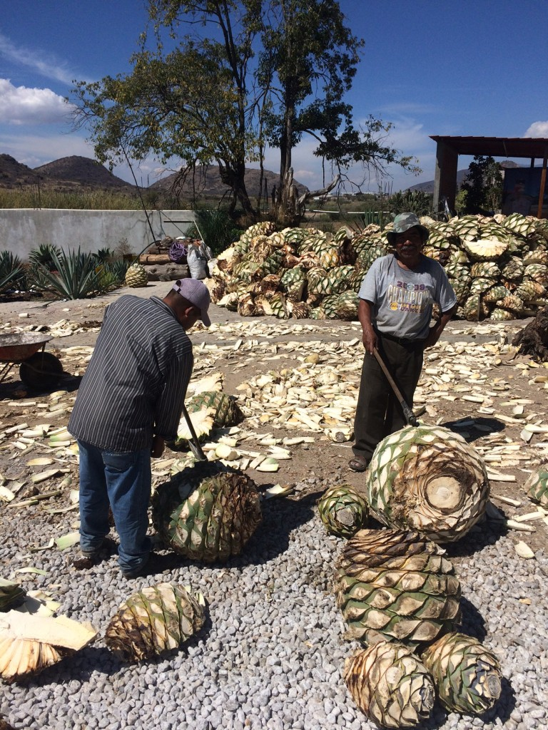 Making mezcal with the mysterious maguy plant