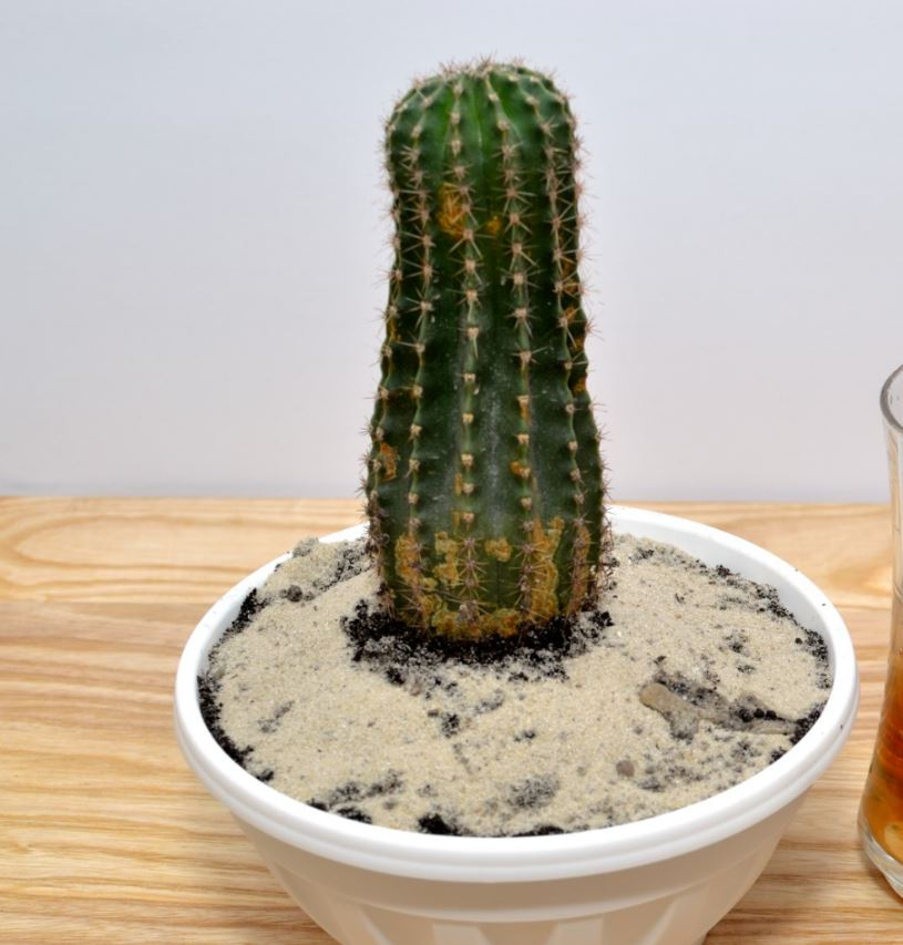 cactus for real