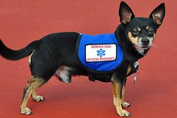 fake-service-dog
