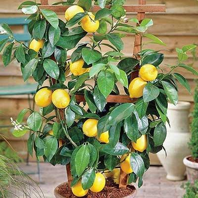 lemon-dwarf-citrus