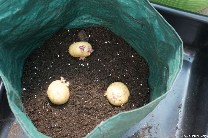 seed-potatoes-in-potato-growing-bag