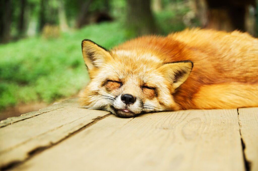 Photo of a fox sleeping